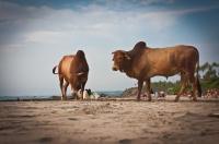 Бой быков